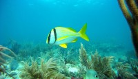 A Porkfish Glides Over the Reef