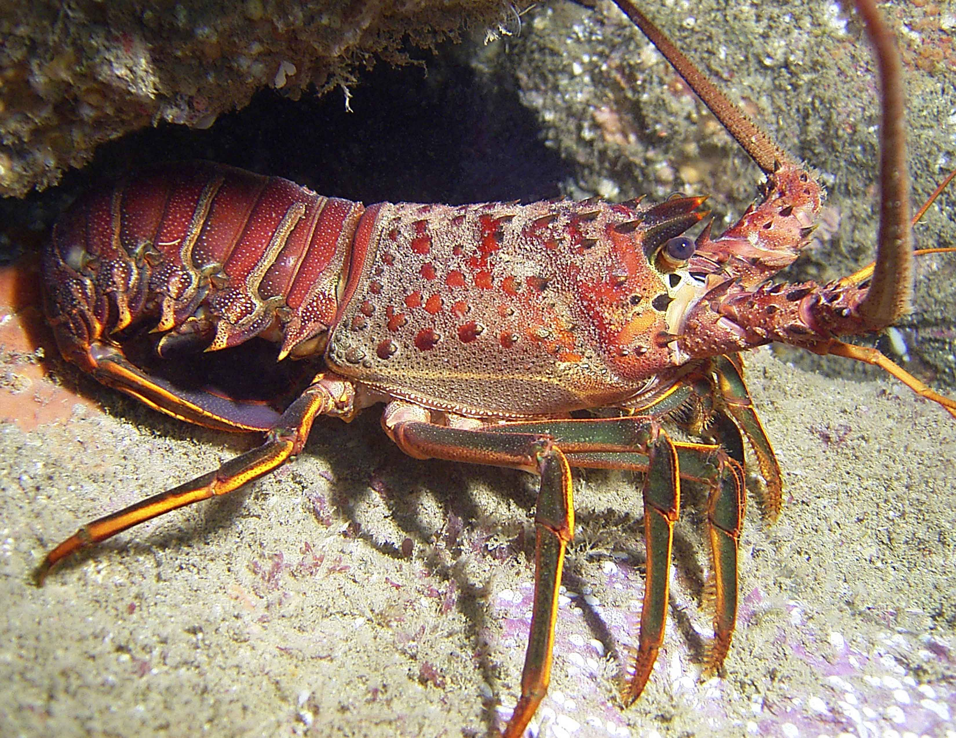 Lobsters Underwater Images & Pictures - Becuo